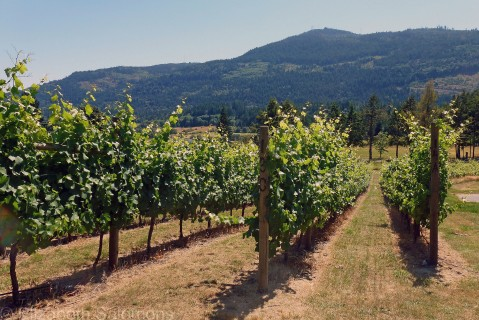 Garry Oak Winery started out as a sheep farm. The conversion from pasture to vineyard was begun in 1999.