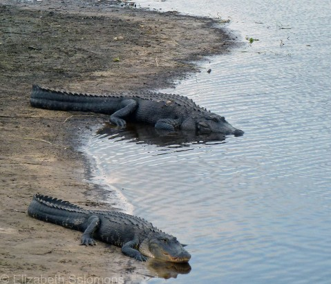 Alligators 4
