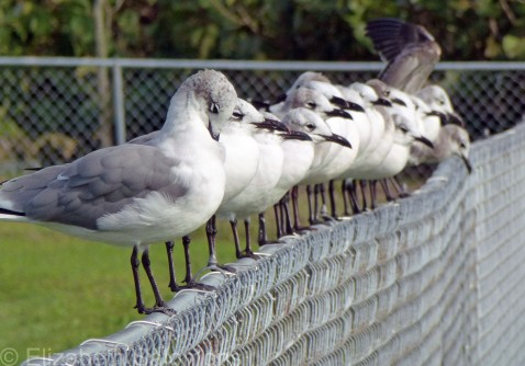 Laughing Gull 2