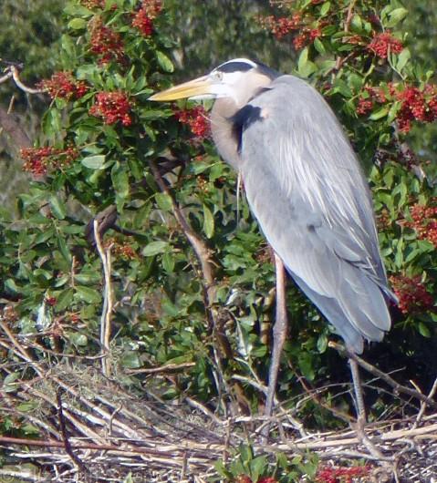 Great Blue Heron Male