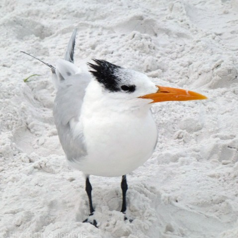Look how far the feet of this Royal Tern sink into the soft sand at Siesta Beach