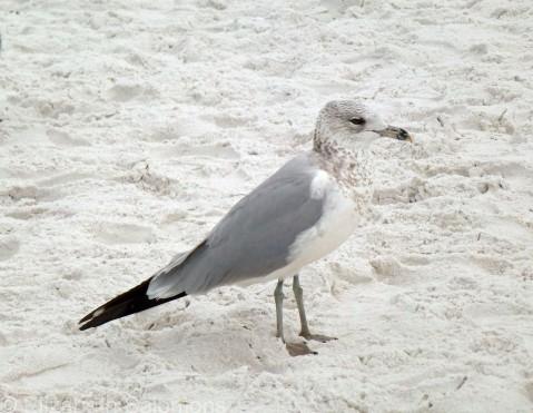 Laughing Gull 1