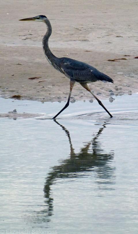 Great Blue Heron Female