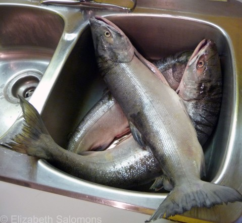 Salmons in the Sink