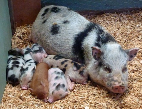 SSI Pig and Piglets