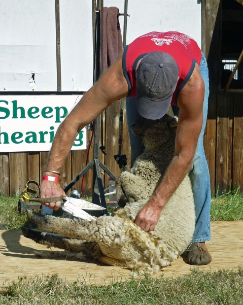Sheep Shearing 1