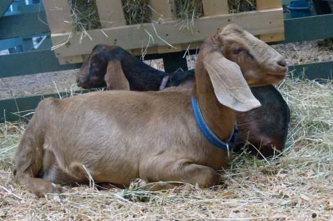 SSI Goats