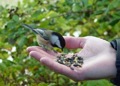 Black-capped Chickadee in Hand
