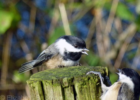Two Black-capped Chickadees