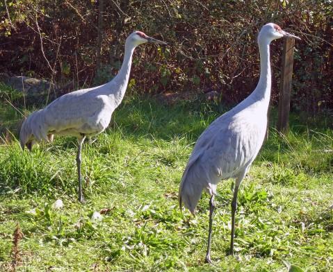 Sandhill Crane (pair)