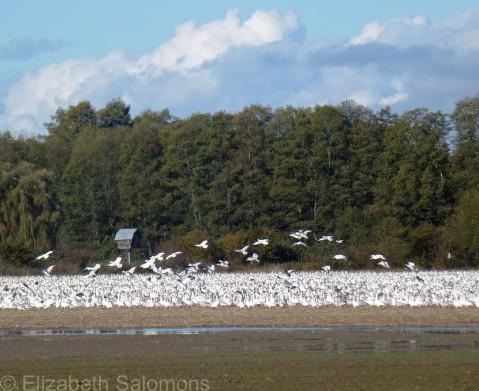 Lesser Snow Geese