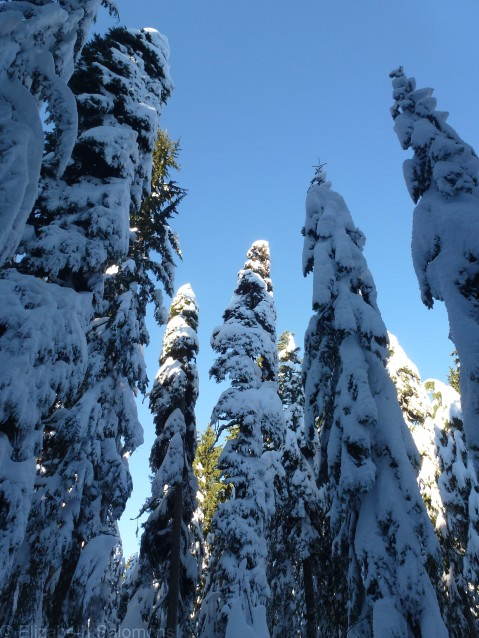 Cypress Snowy Trees 3