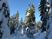Cypress Snowy Trees 5
