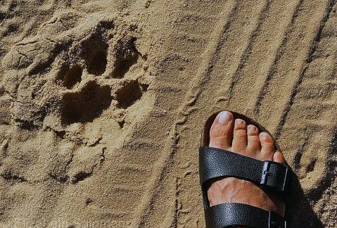 Lion Tracks 1
