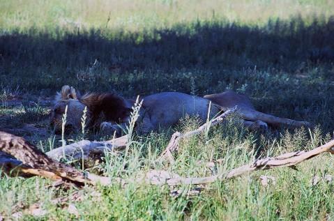 Lion # 1