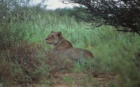 Lion # 3