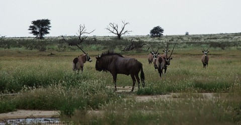 Gemsbok and Blue Wildebeest