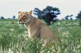 Lion # 6 Close-up