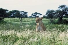 Lion # 6
