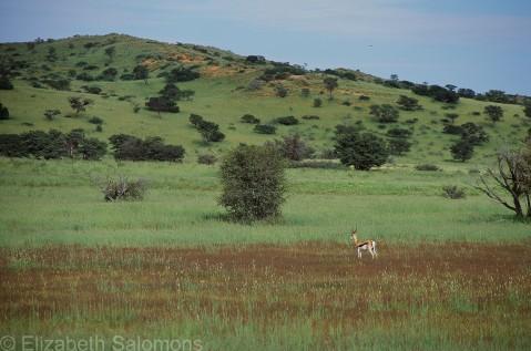 Solitary Springbok