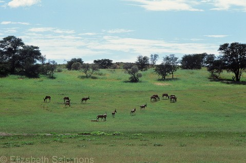 Herd of Red Hartebeest