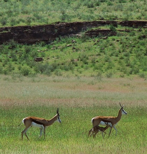 Springbok with Fawn