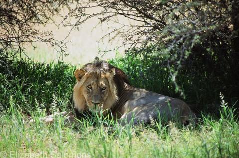Lion # 10