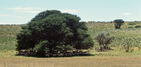 Springbok under Tree
