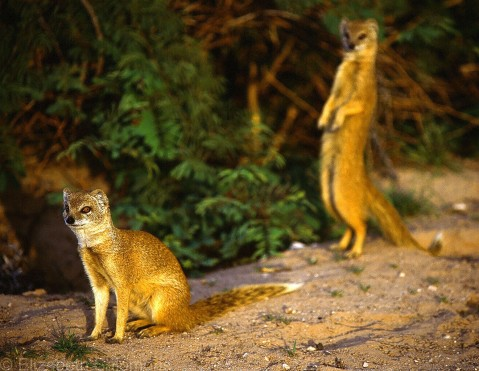 Yellow Mongoose 1