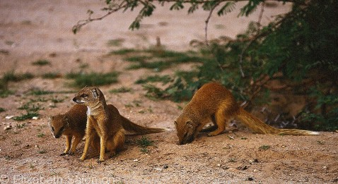 Yellow Mongoose 2
