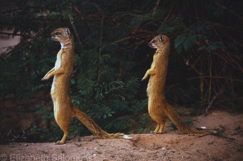 Yellow Mongoose 3