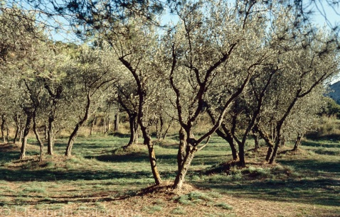 Saint Paul Olive Trees 1