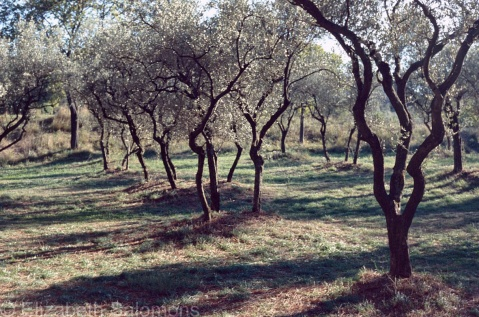 Saint Paul Olive Trees 2