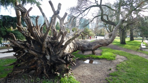 Georgia Street Tree